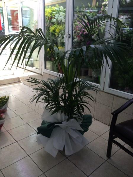 Kentya (salon bitkisi)