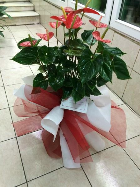 Salon bitkisi (antoryum)