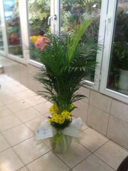 Areka salon bitkisi