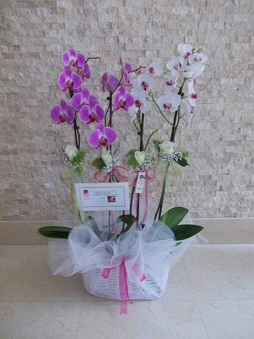 2 saksı orkide ( 4 dal)