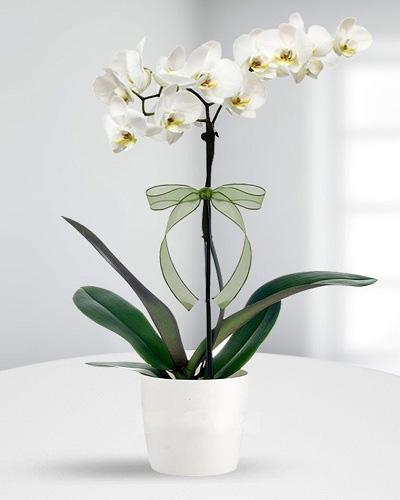 Çift dallı saksı orkide